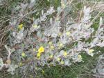 special hibbertia endemic.jpg